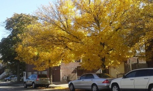 flatbush autumn leaves